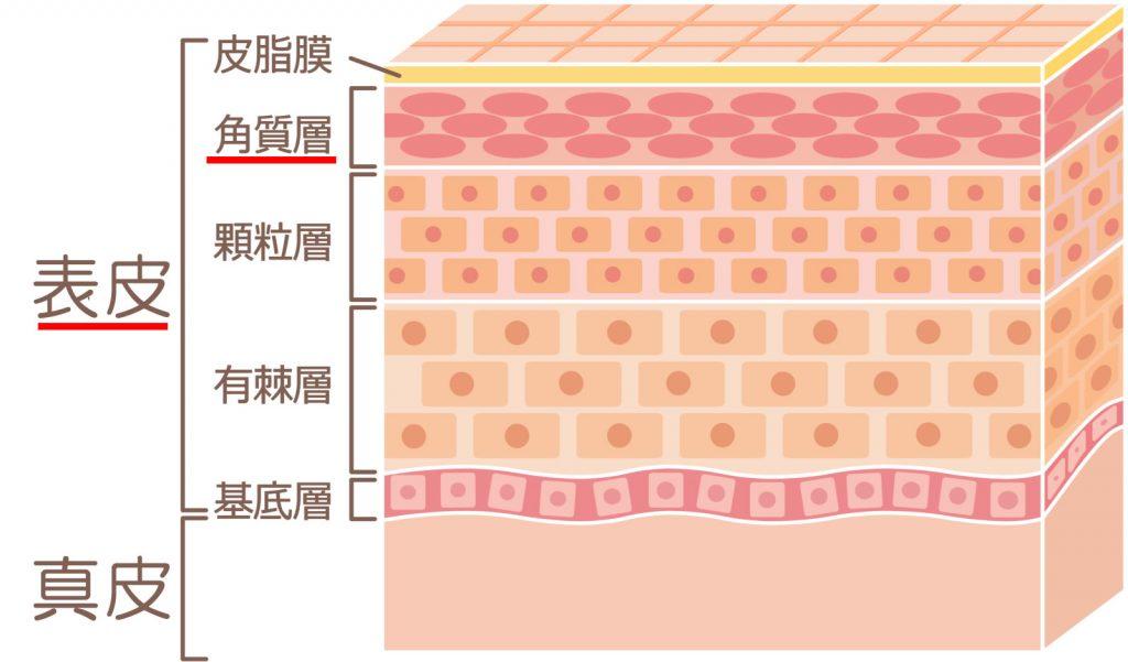 表皮の構造図